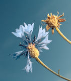 Flower blue sky Royalty Free Stock Photos