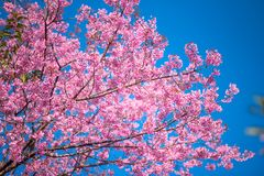 Flower with blue sky in spring at Chiangmai Thailand. Prunus cerasoides flower or Wild Himalayan Cherry flower with blue sky in spring at Chiangmai Thailand stock image