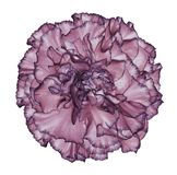 Flower blue-violet carnation  on a white isolated background with clipping path.   Closeup.  No shadows.  For design. Nature Stock Photography