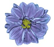 Flower blue-violet dahlia. On a white isolated background with clipping path.   Closeup.  No shadows.  For design. Nature Royalty Free Stock Photo