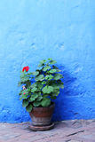 Flower and Blue Wall - Santa Catalina Convent, Arequipa, Peru. Inside the ancient Santa Catalina convent in Arequipa, Peru royalty free stock photo
