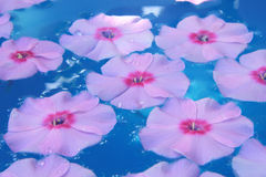 Flower in blue water. Phlox flower in blue water royalty free stock image