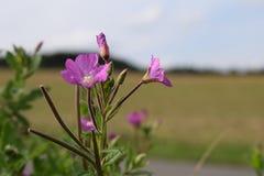 Flower. Blume am Feld Royalty Free Stock Image
