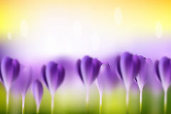 Flower blurred spring background. Vector flower blurred spring background. Green lawn with purple crocuses. Summer bright wallpaper Royalty Free Stock Photography