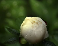 Flower on blurry  background bokeh. White Peony flower after the rain in the garden.  Floral background. Soft focus. Closeup. Royalty Free Stock Photo