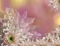 Flower on blurry pink-yellow background bokeh. Pink-white  flowers chrysanthemum.  floral collage.  Flower composition. Royalty Free Stock Photography