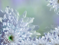 Flower on blurry turquoise-blue-green background halftone. Blue-white  flowers chrysanthemum.  floral collage.  Flower composition Stock Photo