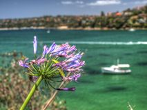 A flower and a boat in Sydney, Australia. A shot of a purple flower and a boat in Sydney, Australia Royalty Free Stock Photo