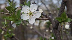 Flower bobs that open at the warmth of the spring sun. Spring apple flower. Nature returns to life stock image