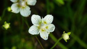 Flower bog-star, grass of Parnassus or Parnassia palustris close-up, selective focus, shallow DOF.  stock images
