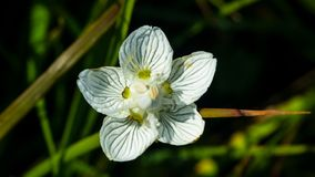 Flower bog-star, grass of Parnassus or Parnassia palustris close-up, selective focus, shallow DOF.  royalty free stock image