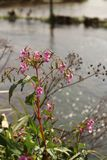 Flower With Bokeh River. A lovely pink flower with stunning bokeh reflecting on the river stock image