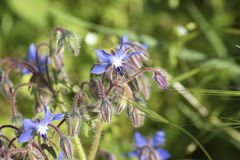 Flower of borago Stock Image