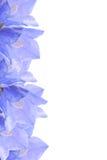Flower border. Blue flower border on white stock photography