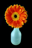 Flower and a bottle. Gerbera isolated on a black background and a blue bottle Stock Image