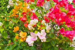 Flower bougainvillea Stock Photo