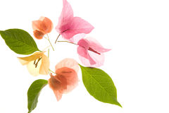 Flower - Bougainvillea petals and leaves. Leaves and petals of bougainvillea flower arranged on soft box Stock Photo