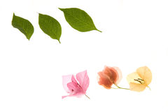 Flower - bougainvillea petals and leaves Royalty Free Stock Photo