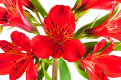 Flower bouquet from several red alstroemeria Stock Photo