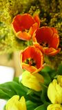 Flower bouquet. Tulips and mimosa Royalty Free Stock Image