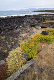 Flower branch   in  lanzarote spain musk  rock stone sky     and Stock Photos