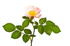 Flower of briar Royalty Free Stock Photos