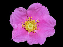 Flower of brier 9 Royalty Free Stock Images