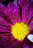 Flower of a bright crimson chrysanthemum in water drops Stock Photography