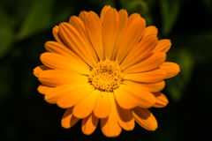 A flower with bright orange dense petals. On a dark background. Macro Royalty Free Stock Photos