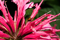 A flower with bright pink petals on whicha beetle sits. Macro. Royalty Free Stock Photo