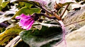 Flower of brinjal stock photo