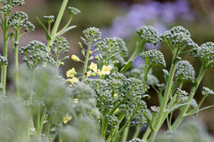 Flower of broccoli Royalty Free Stock Image