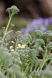 Flower of broccoli Stock Photos