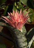 Flower. Bromeliads. Aechemea. Royalty Free Stock Photography