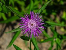 Flower of Brown Knapweed or Centaurea jacea macro, selective focus, shallow DOF.  royalty free stock photos