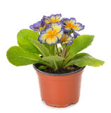 Flower in a brown pot Stock Image