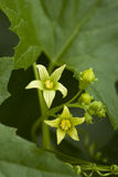 Flower Bryonia. Yellow little flower (Bryonia alba) in garden Royalty Free Stock Photo