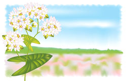 Flower buckwheat. Vector illustration. Royalty Free Stock Photo