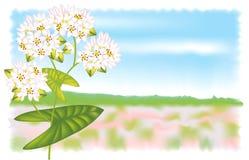 Flower buckwheat. Vector illustration. Flower buckwheat. Vector illustration on landscape background Royalty Free Illustration