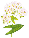 Flower buckwheat. Vector illustration. Royalty Free Stock Images