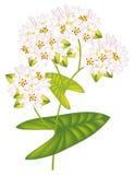 Flower buckwheat. Vector illustration. Flower buckwheat. Vector illustration on white background Stock Illustration
