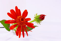 Flower with a bud Stock Photography