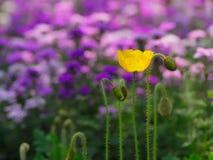 Flower and bud. Of Corn poppy Stock Photo