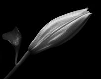 Flower Bud. Black and white image of single flower bud Stock Photo