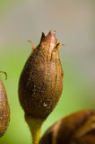 Flower bud. Close-up shot of a flower bud in a garden Stock Photography