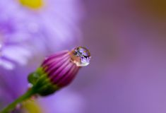 Flower bud. Close up with dew drop Stock Photo