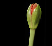 Flower Bud. A flower bud isolated against a dark background about to burst into flower Stock Photo