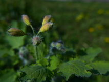 Flower bud of Greater Celandine - Chelidonium Majus Royalty Free Stock Photography