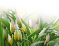 Flower bud in green grass Royalty Free Stock Photos