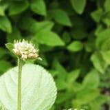 Flower bud Royalty Free Stock Image